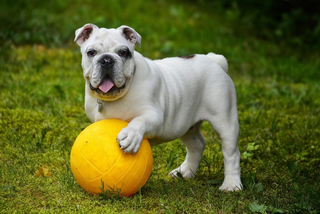 The 11 Best Apartment Dog Toys: Indoor Toys For Your Best Friend, small apartment, essentials, toys, english bulldog, bulldog, dog